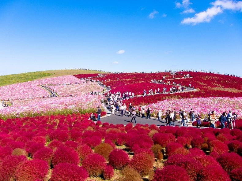 Hitachi Seaside Park, Japan.